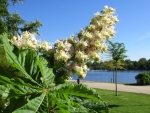 Chestnut blossoms at river Alster in Hamburg
