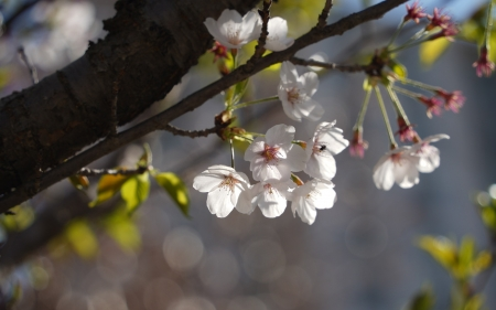 Cherry Blossoms - blossoms, tree, macro, cherry