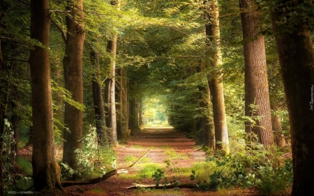Forest Path - path, forest, branches, trees