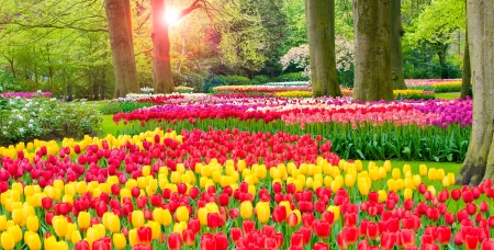 Keukenhof garden - colorful, glow, sun, grass, greenery, park, beautiful, trees, freshness, Netherland, Holland, rays, garden, tulips, morning, alley