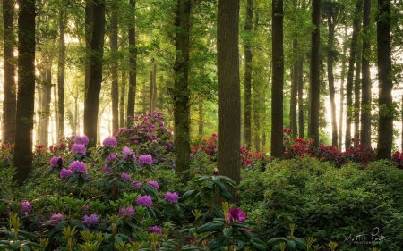 Rhododendrons in Forest - forest, blooms, trees, rhododendrons