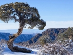 Lone juniper in Black Canyon of the Gunnison National Park, Colorado