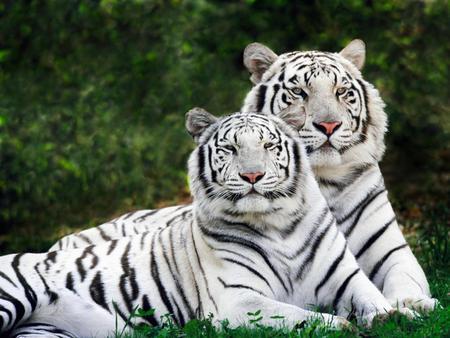 White Tigers - white-tigres, white tigers, tigres