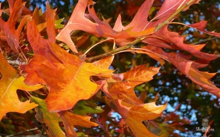 Before They Fall - autumn, widescreen, washington, trees, fall, foliage, orange, seasons, leaves