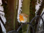 Mr Robin came a callin'