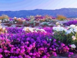 Flowers at Anza-Borrego Desert, California