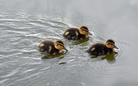 Ducklings - birds, babies, water, ducklings, cute