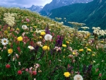 Alpine flowers in Switzerland