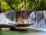 Deer at Waterfall, Kanchanaburi, Thailandd