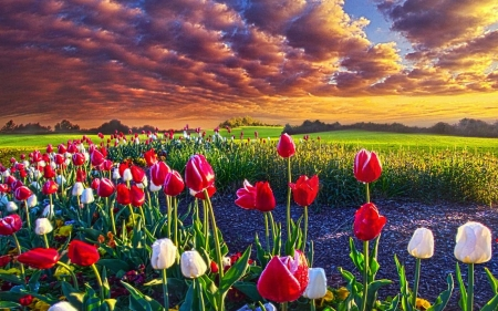 Spring Blossoms - sunset, tulips, sky, landscape, clouds