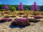 Wild Heather in the Dunes, Southern France
