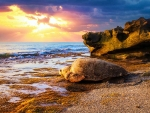 Lone turtle at Jupiter Island, South Florida