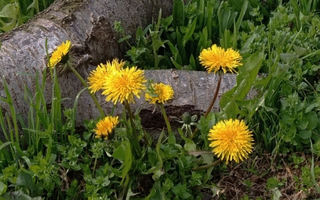 Dandelions - yellow, flowers, Dandelions, log, spring