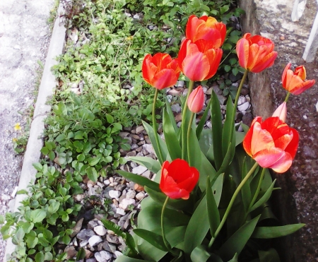 Spring flowers - pretty, red, flowers, spring, beautiful
