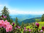 Beautiful azaleas blooming in mountains