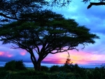 Acacia tree at sunrise in Amboseli, Kenya