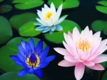 Other members of the Lotus family