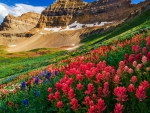 Indian Paintbrush and Lupine, Mount Timpanogos Wilderness, Utah