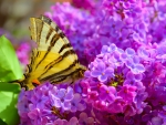 A butterfly on lilac flower