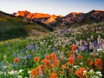 Wildflowers in Albion Basin, Alta, Utah