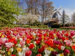 Mill and tulips in Netherland
