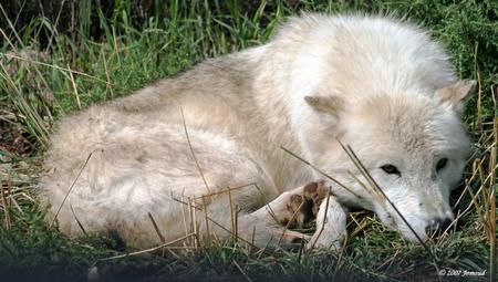 Lying wolf - mammals, wolves, animals, wolf