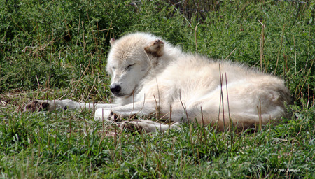 sleeping wolf - mammals, wolves, animals, wolf