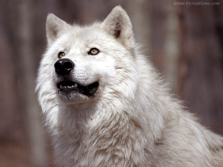 Wolf grin - animal, wolf, animals, mammal, mammals, wolves