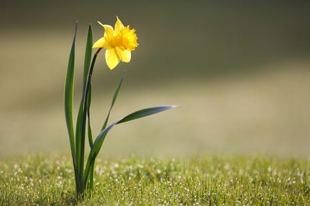 Daffodil - picture, daffodil, alone, dew drops, spring, beautiful, yellow flower