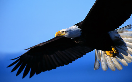 Eagle on Alert - snow, entropy, winter, blue, bald, long flight home, ice, wallpaper, alert, eagle