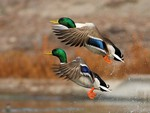 Beautiful Ducks