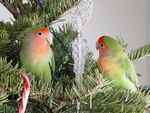 Lovebirds 20 December