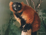 A Red & Black Lemur