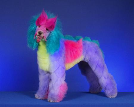 Poodle - colorful, poodle, animal, dog