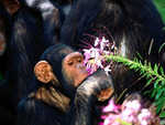 Chimpanzees Monkey