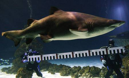huge sand shark - sharks, animals