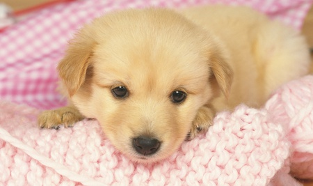Lovely Puppy - pretty, beautiful, adorable, blanket, cuddley, sweet, nice, puppies, face, animals, dog, puppy, golden lab, nose, lovely, soft, puppy face, cute, eyes, dogs
