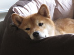 Shiki the Shiba Inu in her new bed