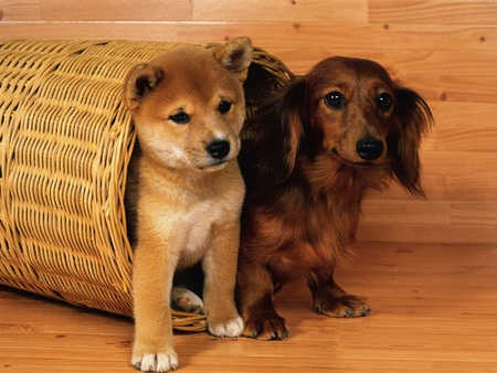 Dachshund and shiba puppies - pet, puppies, friend, dog