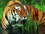martial tiger wallpaper 1024x768. jpg