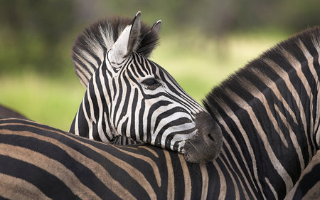 Zebra portrait - zebras, windows 7, animals