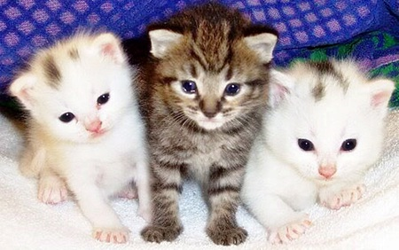 The three Meowsketeers - adorable, cuteness, cats, animals