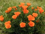 Californian Poppies, Los Angeles