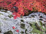 Autumn Vine Maple & Lichens