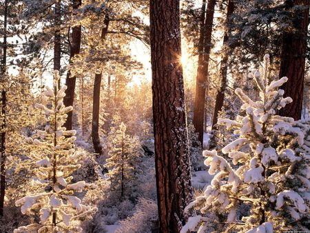 Ponderosa starburst, Fremont National Forest, Oregon - forest, winter, sunlight, snowy trees, oregon