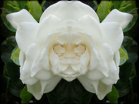 Angel face flowers nature background wallpapers on desktop nexus angel face angel white flower mightylinksfo