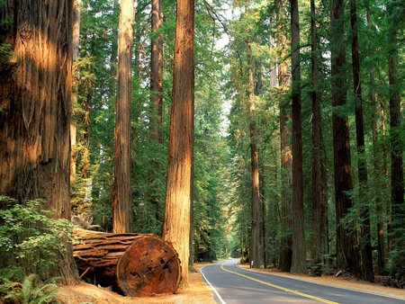California Redwood Forest - forest, ancient, california, places, trees, redwoods, highway, roads, humboldt, nature, light