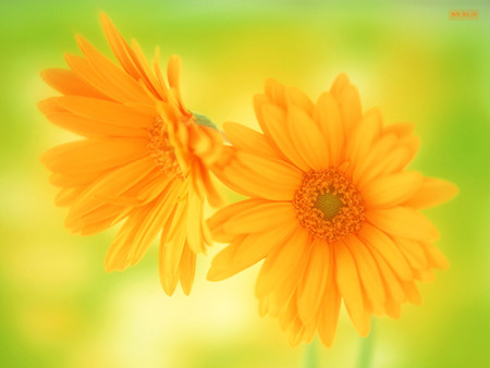 2 Yellow Flowers - colorful flower, flowers, color, colors, colorful flowers, mna, nature, flower, rose