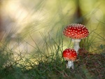 Polka Mushrooms / Fliegenpilz / Fly Agaric
