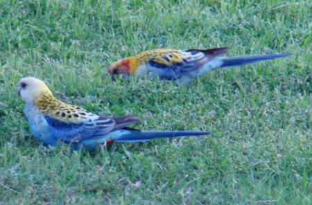 Pale headed Rosella - pale headed, native birds, grass, rosella, australia, parrot